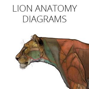 feline anatomy diagrams