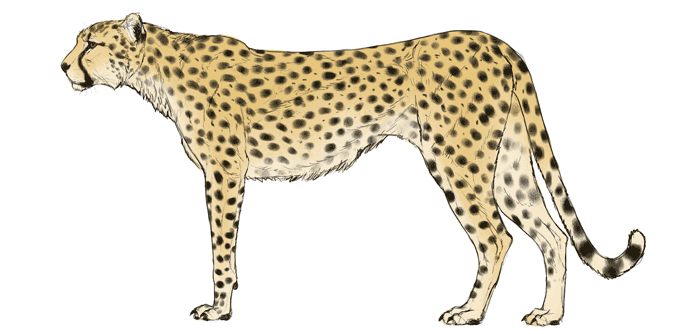 how-to-draw-big-cats-colors-cheetah-4