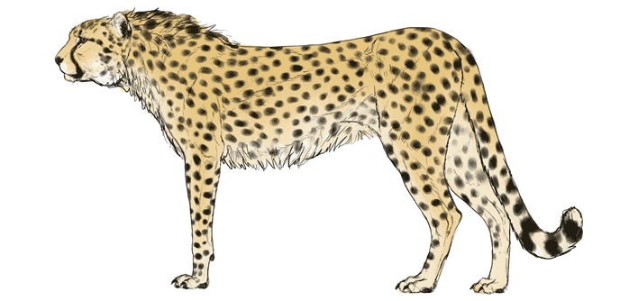 how-to-draw-big-cats-colors-cheetah-5