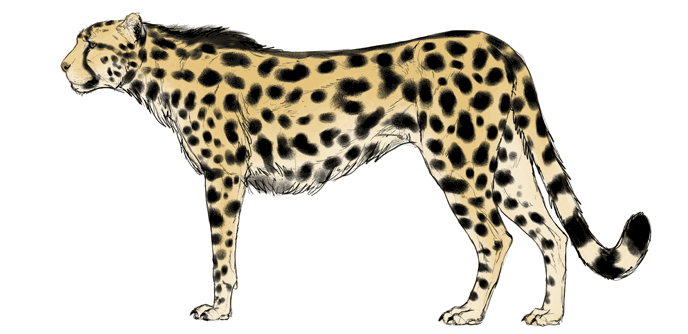 how-to-draw-big-cats-colors-cheetah-6
