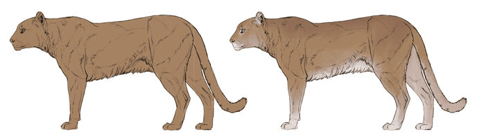 how-to-draw-big-cats-colors-cougar-2