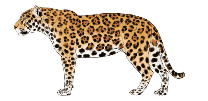 how-to-draw-big-cats-colors-jaguar-6