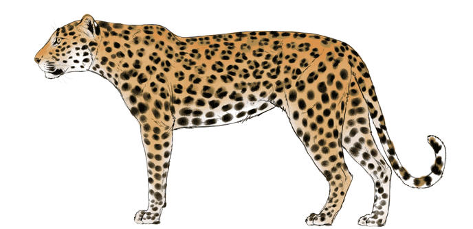 how-to-draw-big-cats-colors-leopard-6