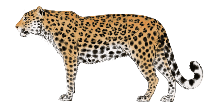 how-to-draw-big-cats-colors-leopard-8