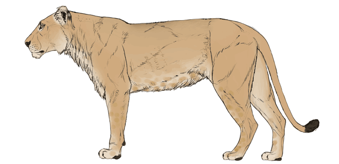 how-to-draw-big-cats-colors-lion-4