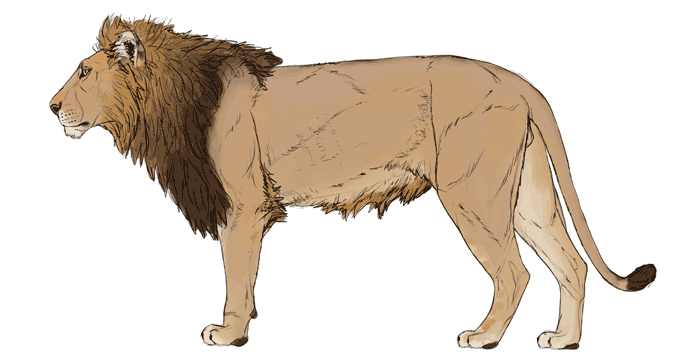 how-to-draw-big-cats-colors-lion-5