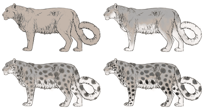 how-to-draw-big-cats-colors-snow-leopard-2