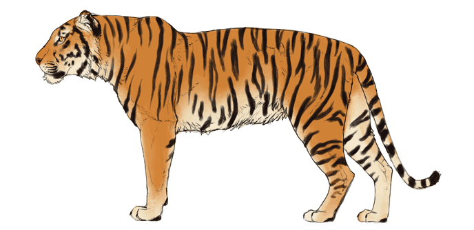 how-to-draw-big-cats-colors-tiger-4