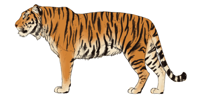 how-to-draw-big-cats-colors-tiger-5