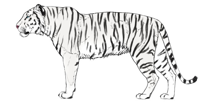 how-to-draw-big-cats-colors-tiger-6
