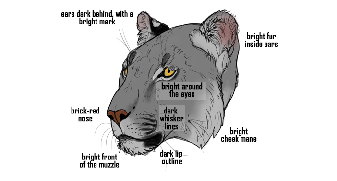 how-to-draw-big-cats-head-colors