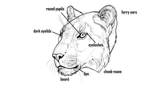 how-to-draw-big-cats-head-details