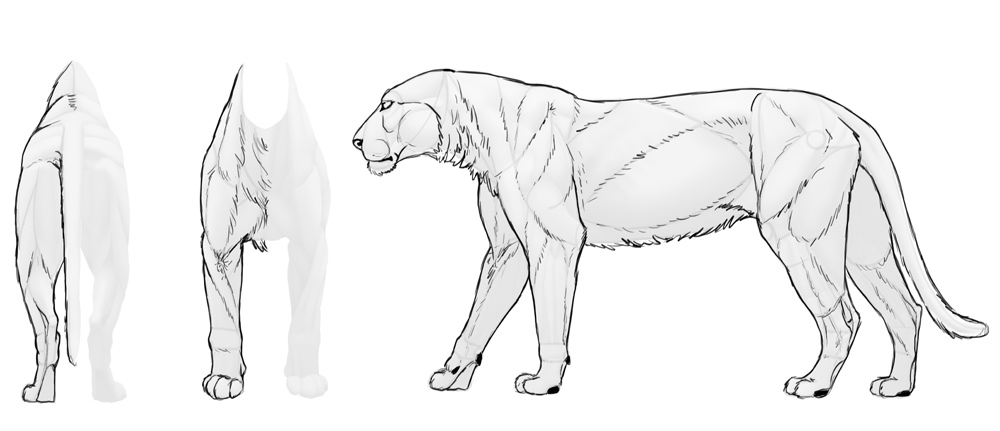 how-to-draw-big-cats-muscles-sketched