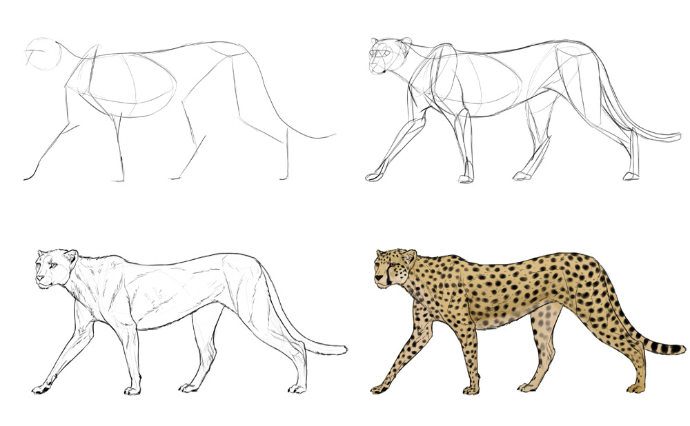 how-to-draw-big-cats-process-cheetah