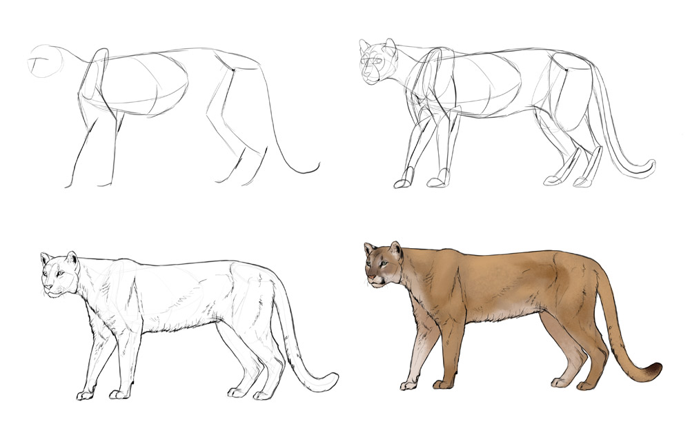 how-to-draw-big-cats-process-mountain-lion
