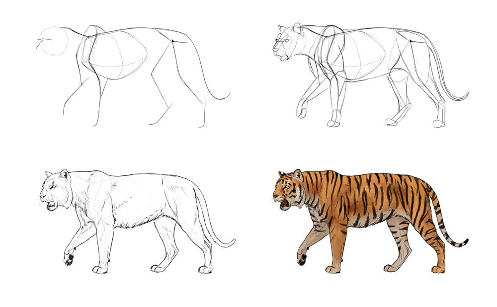 how-to-draw-big-cats-process-tiger