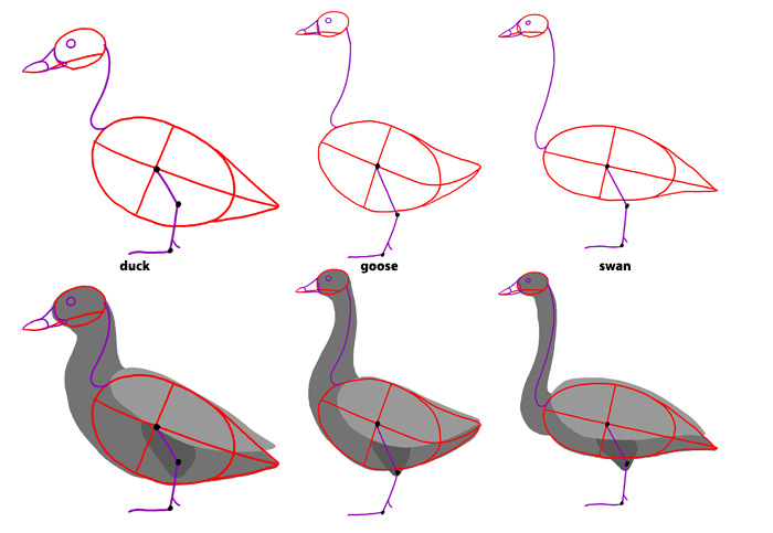 how-to-draw-birds-species-ducks