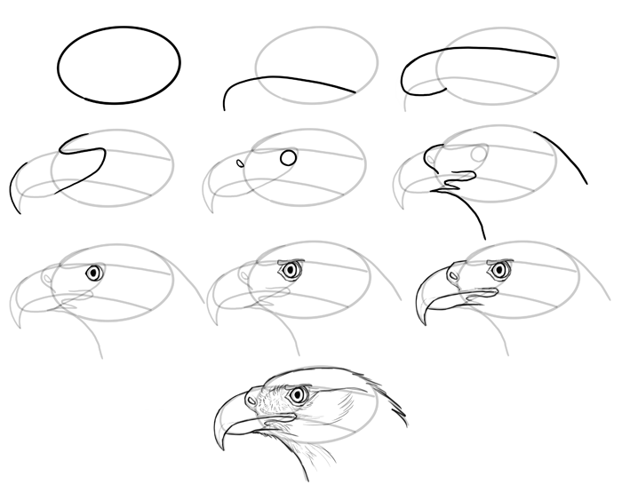 how-to-draw-birds-species-head-birdsofprey