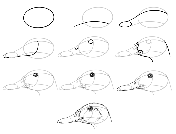 how-to-draw-birds-species-head-ducks