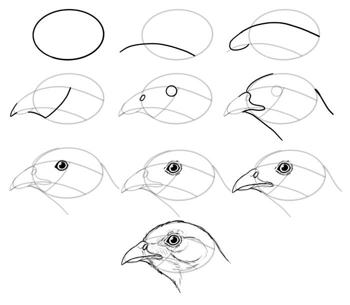how-to-draw-birds-species-head-galliformes
