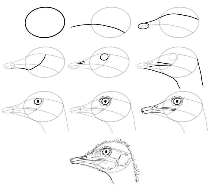 how-to-draw-birds-species-head-ostriches