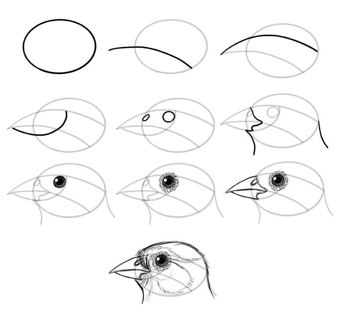 how-to-draw-birds-species-head-passerine