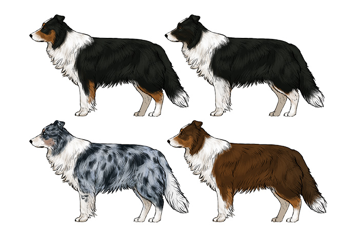 how-to-draw-dogs-border-collie-colors