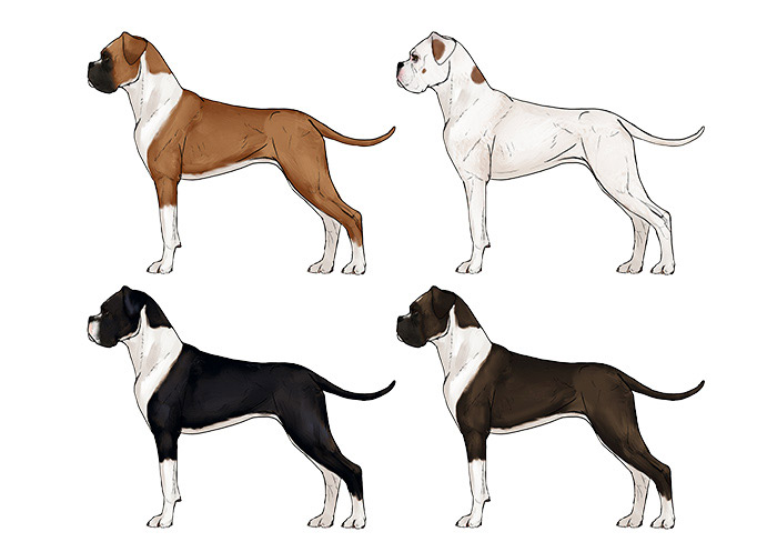 how-to-draw-dogs-boxer-colors