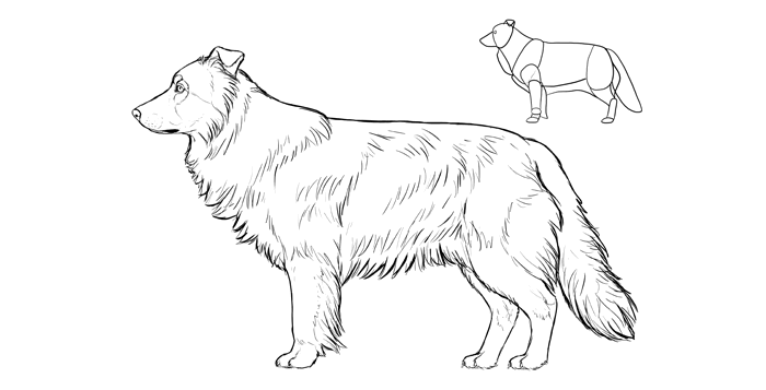 how-to-draw-dogs-breeds-border-collie