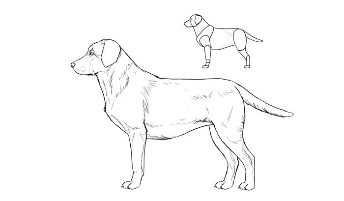 how-to-draw-dogs-breeds-labrador
