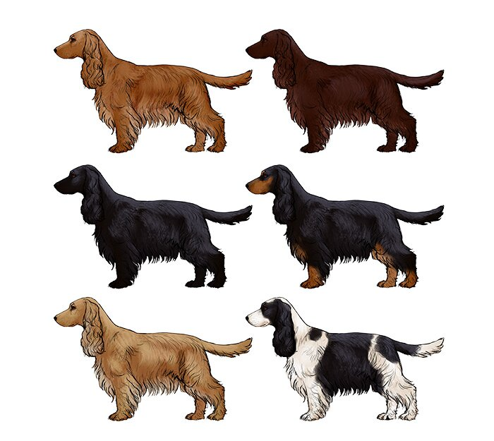 how-to-draw-dogs-cocker-spaniel-colors