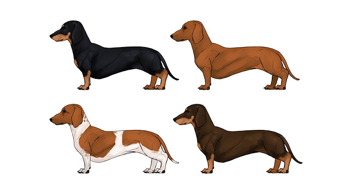 how-to-draw-dogs-dachshund-colors