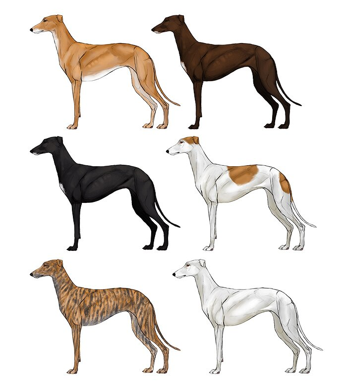 how-to-draw-dogs-greyhund-colors