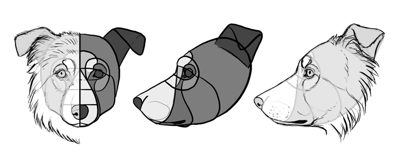 how-to-draw-dogs-head-border-collie