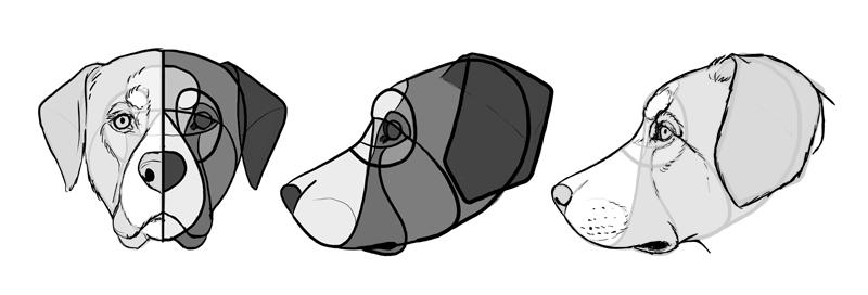 Это изображение имеет пустой атрибут alt; его имя файла - how-to-draw-dogs-head-labrador.png