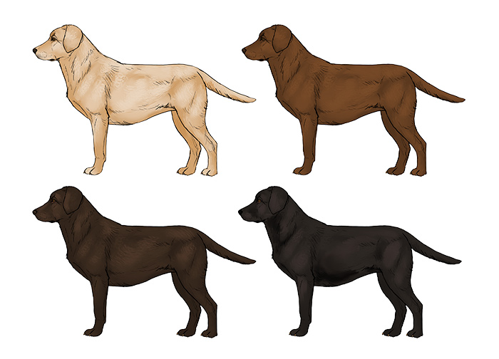 how-to-draw-dogs-labrador-colors