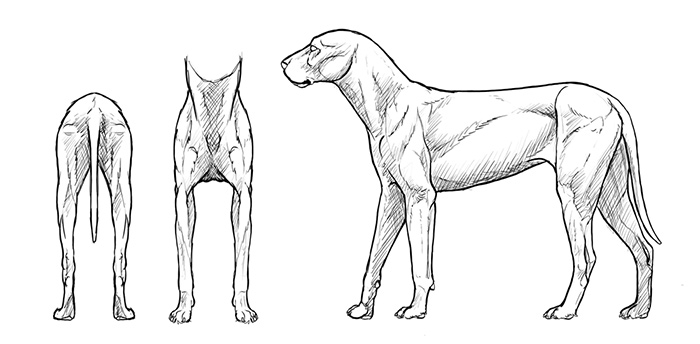how-to-draw-dogs-muscles-drawing