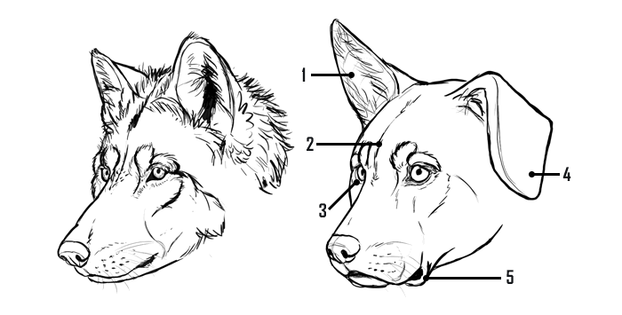 how-to-draw-dogs-wolf-dog-comparison