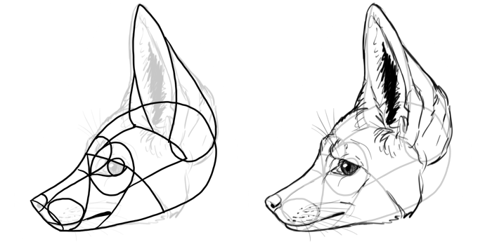 how-to-draw-foxes-species-bat-eared-fox