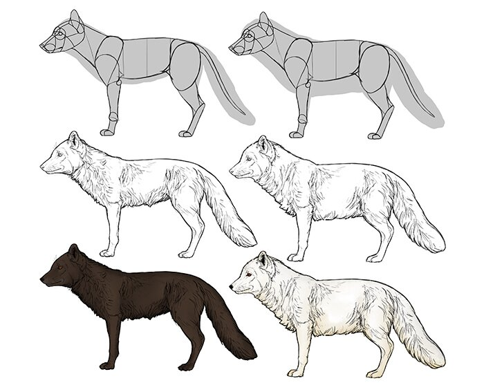 how-to-draw-foxes-species-body-arctic-fox