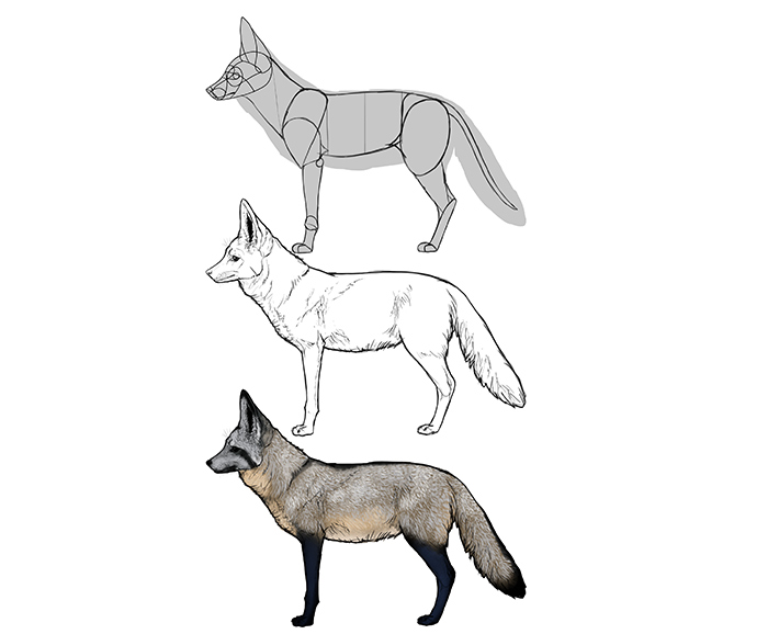 how-to-draw-foxes-species-body-bat-eared-fox