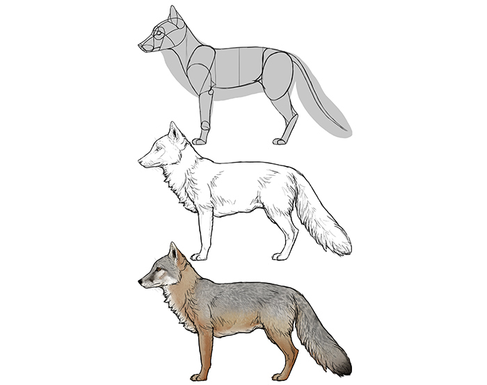 how-to-draw-foxes-species-body-corsac-fox