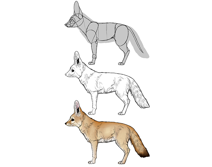 how-to-draw-foxes-species-body-fennec