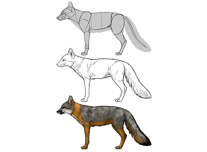 how-to-draw-foxes-species-body-grey-fox