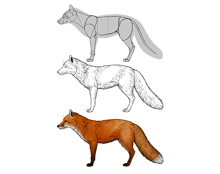how-to-draw-foxes-species-body-red-fox