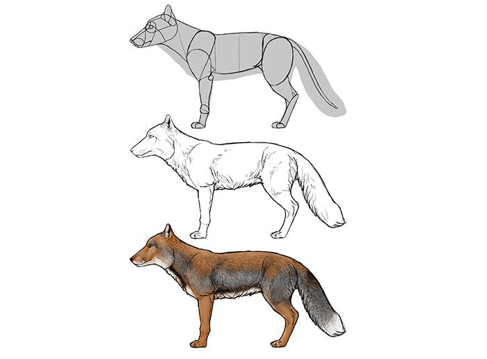 how-to-draw-foxes-species-body-tibetan-fox