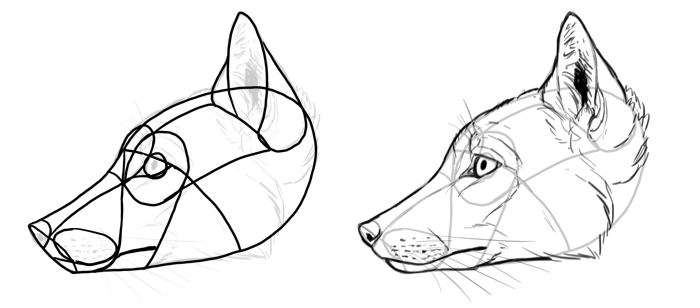 how-to-draw-foxes-species-corsac-fox