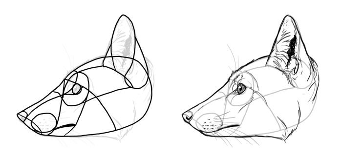 how-to-draw-foxes-species-crab-eating-fox