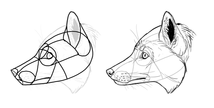how-to-draw-foxes-species-red-fox