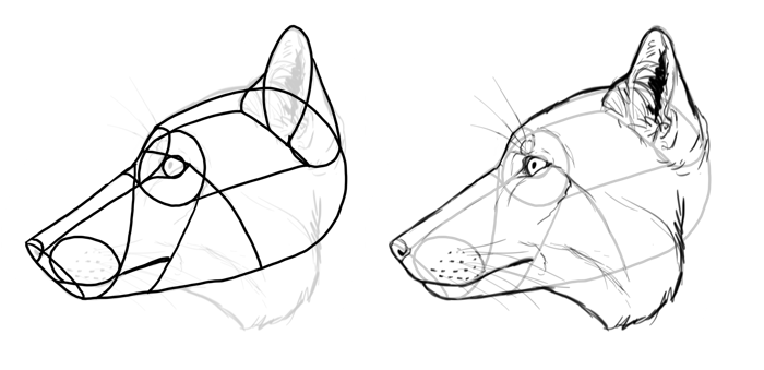 how-to-draw-foxes-species-tibetan-fox